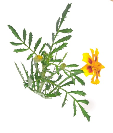marigold flower (Tagetes patula) isolated on white background  photo