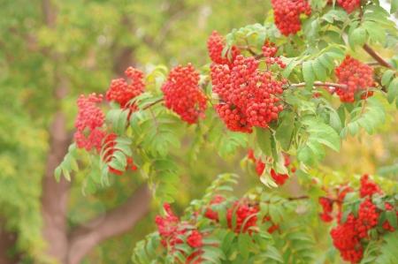 european rowan: Bright rowan berries on a tree