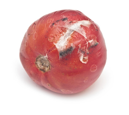 rotten tomato on a white background  Stock Photo - 22663955