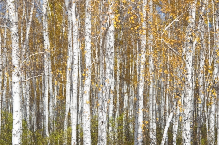 Autumn background. Birches against cloudy sky  photo