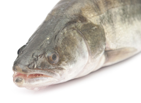 fresh pike perch isolated on a white background  photo