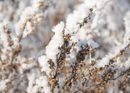 winterday: dry grass under the snow Stock Photo