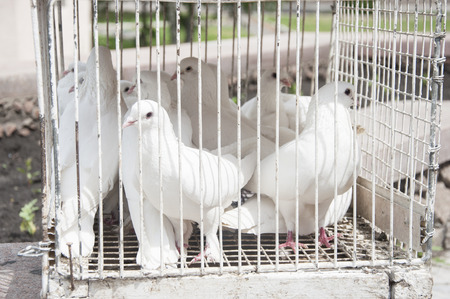homing: white doves on a sunny day in a wooden cage Stock Photo