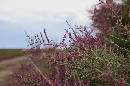 Flowering tamarisk in the steppes of Kazakhstan Stock Photo