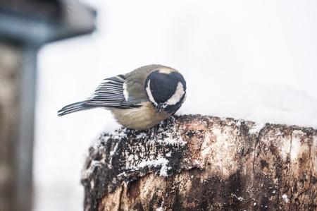 Bird, Chickadee in the snow on a bleak winter day.