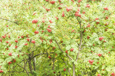 Bright rowan berries with leafs on a tree
