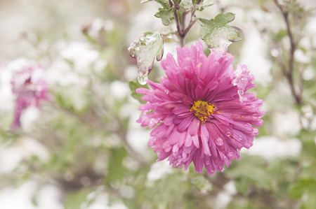autumn blooming flowers covered with snow. frozen flowers covered with frost.