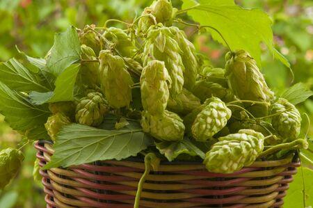 Hops cones or strobiles of the hop plant Humulus lupulus. Used as ingredient in beer. Stockfoto