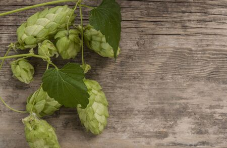 Hop twig over old wooden table background. Vintage style. Beer production ingredient.