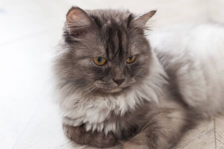 Close up view of gray cute kitten. Pets and lifestyle concept.