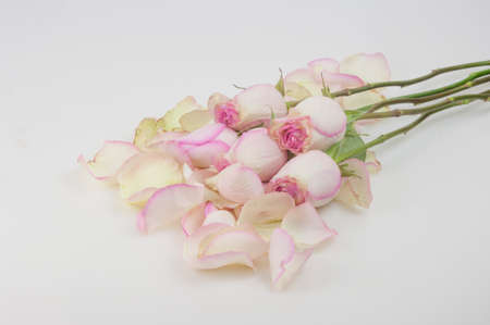 pink roses with pile petals on white background. Festive gift card with copy space, layout.