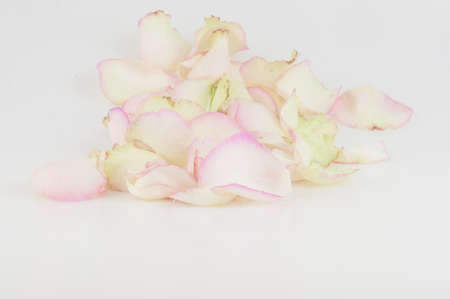 Petals of a pink rose on white background. Festive gift card with copy space, layout.