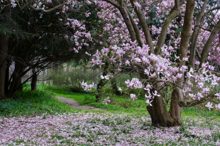 Magnolia tree in full bloom photo