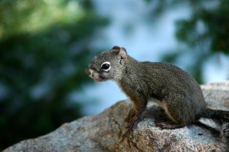 chipmunk on a rock Imagens