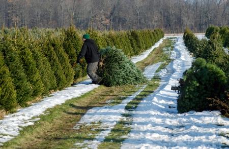 michigan snow: worker dragging fresh cut tree at Michigan farm Stock Photo