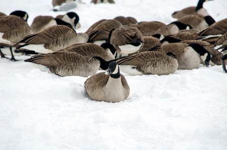 michigan snow: cold geese huddle in the snow looking for food