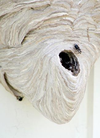 Guêpes occupés dans un nid de guêpe géante Banque d'images - 29525439