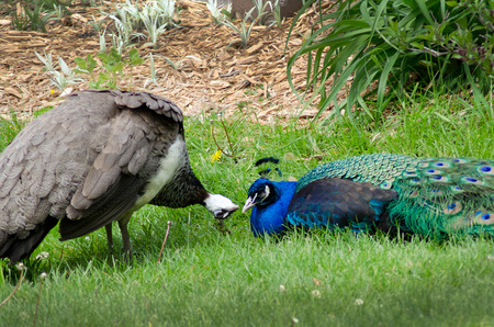 female peacock flirts with a male  do you think im pretty  photo