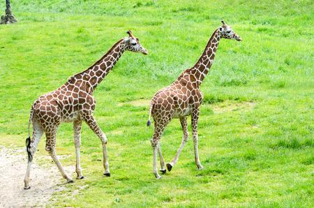 関節キリンのペアはエーカーの数十を彷徨動物園で緑豊かな緑の牧草地の上を散策します。