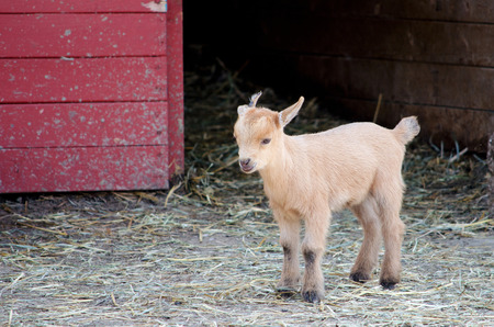 baby goat: a baby goat seems a little lost and alone outside the barn  where is mom