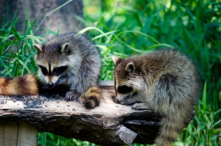 coons: A smorgasbord buffet is set out for a pair of local raccoons who are happily feasting on sunflower seeds spread out on a log