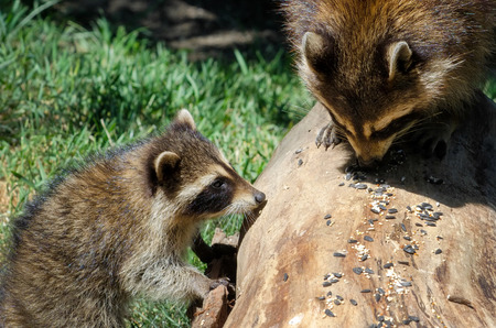 coons: two cute raccoons happuly ear bird seed off a log