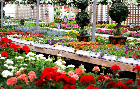 A colorful local plant and flower nursery showcases bedding plants for homes and businesses Stock Photo
