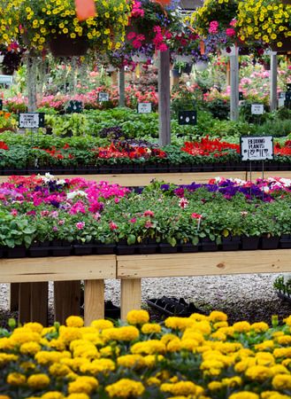 Colorful bedding plants are arranged for sale in a rainbow of colors at a local nursery