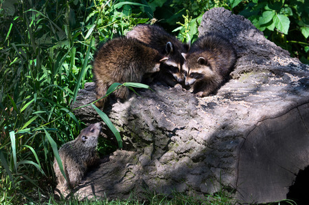 coons: hungry raccoon eat bird seed off a large rock