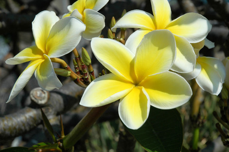 beautiful fragrant flower found in hawaii and used in the making of some of the decorative leis made all over the island