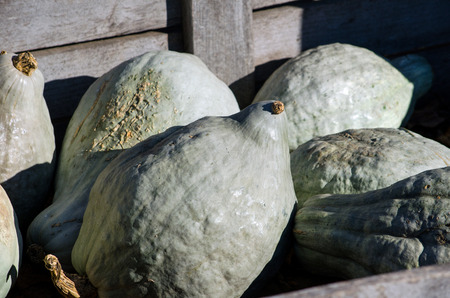 lumpy: Not all fall gourds are pretty, as these green lumpy gourds prove  still, they are fun to decorate with and make great bird houses