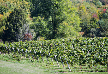 green vineyards in southwest Michigan usa Stok Fotoğraf