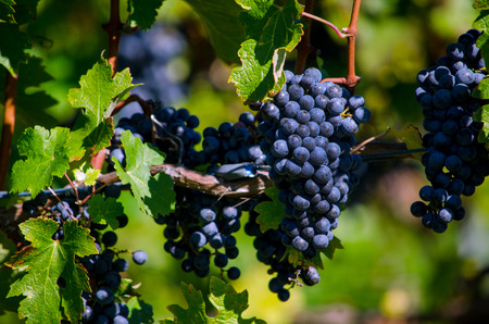 purple clusters of grapes Stock Photo