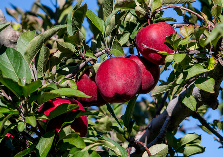 大きな赤いリンゴのなる木
