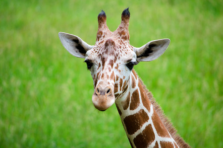perky: a perky giraffe portrait with an adorable face and alert ears Stock Photo