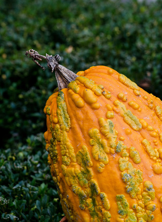 bumpy: Close up of a bumpy, orange pumpkin gourd, fun for fall decorations