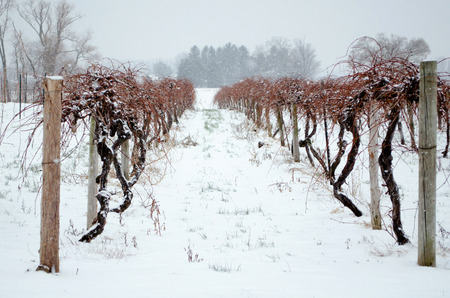 banket: Snow covered grape vines look dead and cold but they are only sleeping thru winters banket of snow Stock Photo