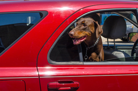 A happy dog hangs his head out a car window  Summer is here  photo