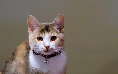 calico: A calico kitten looks with curiosity into the camera lens Stock Photo