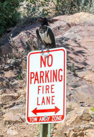 large bird: A large bird defiantly parks on this no parking sign Stock Photo