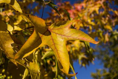 Beautifully colored big autumn leaf