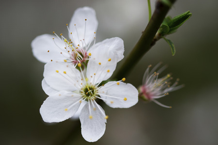 Close-up of a small blossomed spring branch with two white flowers