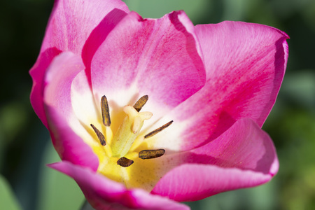 Close-up of a beautiful tulip details outside in nature Stock Photo