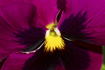 Beautiful macro details of a purple pansy Stock Photo