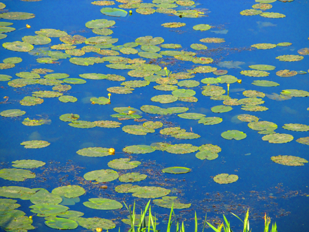 water repellent: Water lilies in the water. Bright card with yellow water lilies