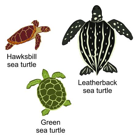 kind: A Vector illustration of three kinds of turtles. Brown hawks-bill sea turtle, black leather-back sea turtle and green sea turtle. Illustration