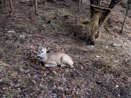 one sheet: A young roe deer without horns lies on the ground in an autumn-winter forest without snow and greens. Photo in gray-brown tones, in the background you can see a feeding trough with hay in the tree Stock Photo