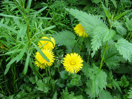 Floral natural background - four bright yellow young dandelion, the nettle shrub and the stems of the cleavers. Juicy green young weeds beautifully grow in spring or summer Stock Photo