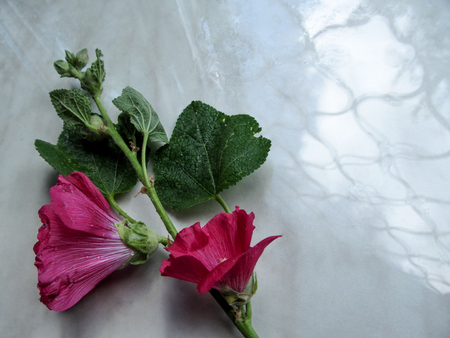 Abstract floral background of a single pink mallow flower in a corner on a gray surface. The branch of the Malva arborea lies at an angle on the mirror surface and in reflection you can see window grille