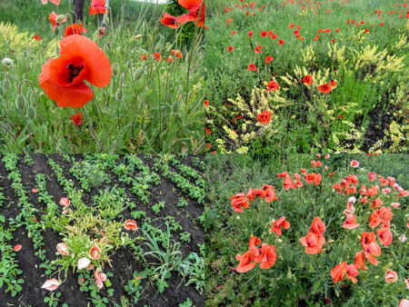 A set of four agriculture photos of the poppies that grew on the field and dried up from weed control means. Yellowed plants die from chemical agents